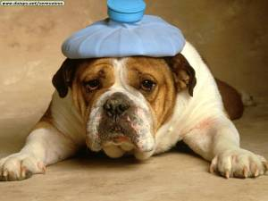 bulldog-with-headache